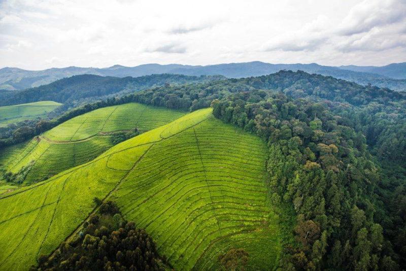 Kivu Tea