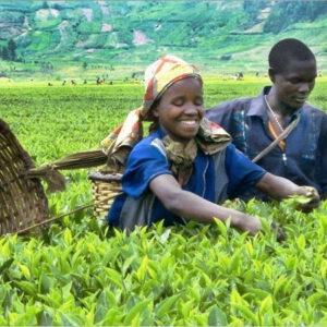 Valley Green Tea 250 g